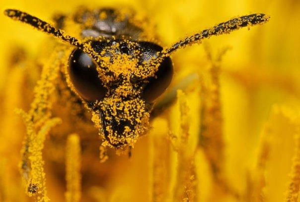 bee-pollen_1705524i
